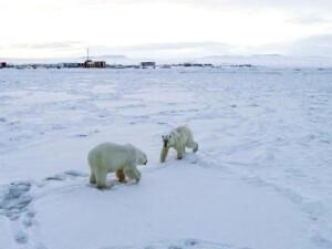 Rusya'da 50'den fazla kutup ayısı köye yaklaştı
