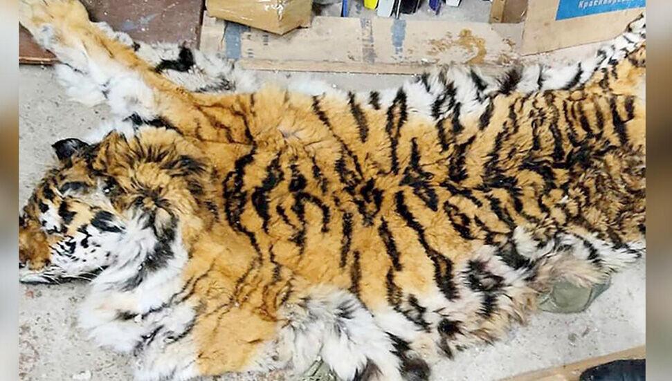 Rusya'da yaşayan 600 Sibirya kaplanından biri öldürüldü