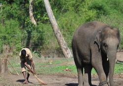 Malezya'da fil avcılarını ihbar edenlere lüks otelde konaklama ödülü