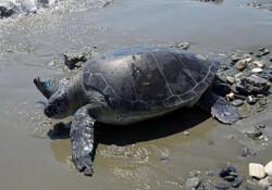 Tedavisi tamamlanan deniz kaplumbağası doğaya salınacak