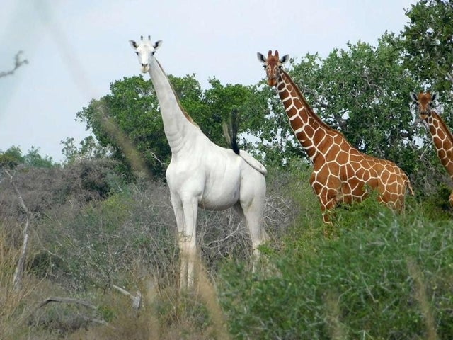 Dünyadaki bilinen son dişi beyaz zürafa kaçak avcılar tarafından öldürüldü