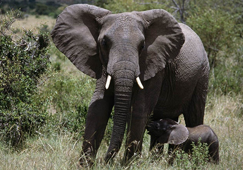 Το κοπάδι των ελεφάντων συνθλίβει τον «λαθραίο» στη Νότια Αφρική