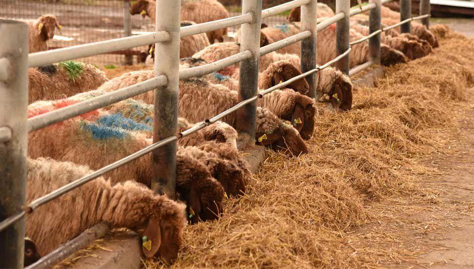 Θα πωληθούν 50 αρνιά και 20 πρόβατα